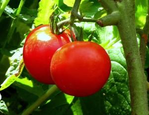 tomaten im eigenanbau richtig pflanzen richtig pflegen ich weiss. Black Bedroom Furniture Sets. Home Design Ideas