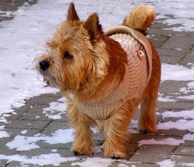 Norwichterrier namens Domino geht bei trockener Kälte mit einem Hundemantel in Strickversion mit Frauchen Gassi.Foto: Manfred Radschun