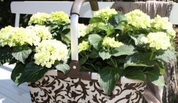 Weiße Hortensien sind seltener anzutreffen als beispielsweise blaue oder rosafarbene. Bei Hortensien unterscheidet man zwischen Ballhortensien, Tellerhortensien und Kletterhortensien. Mittlerweile werden speziell weiße Hortensien immer beliebter (Foto: A. Kaatz)