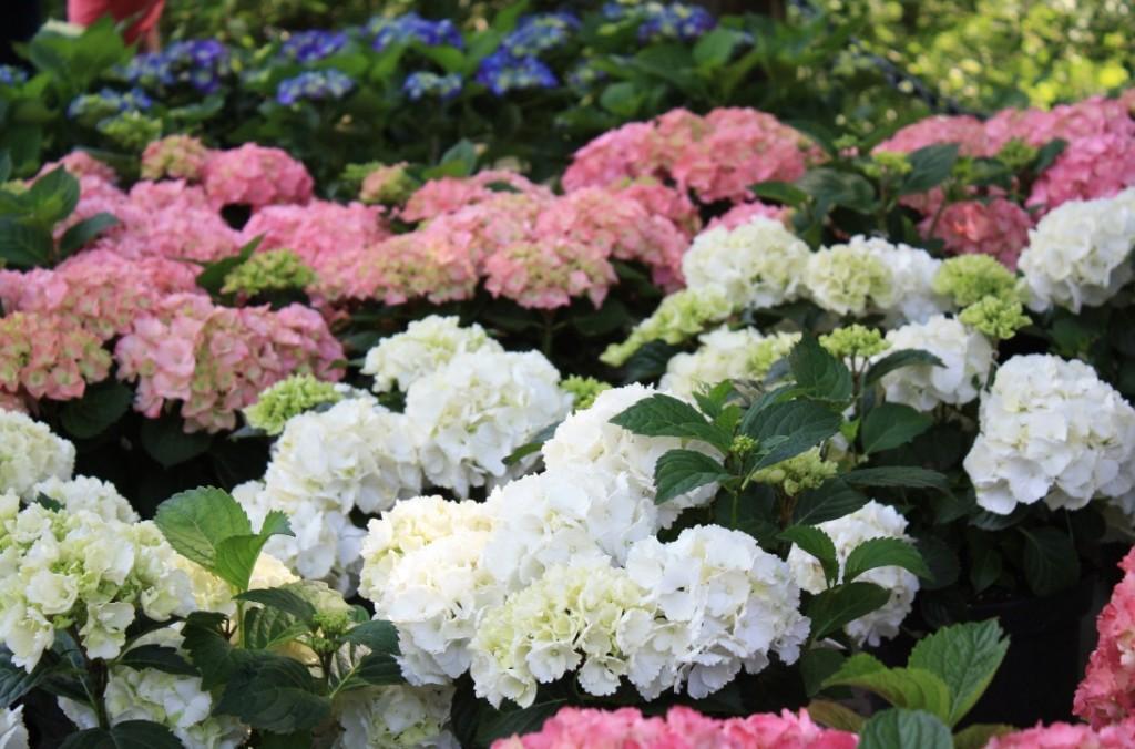 Hortensien in allen Farben (Foto: A. Kaatz)