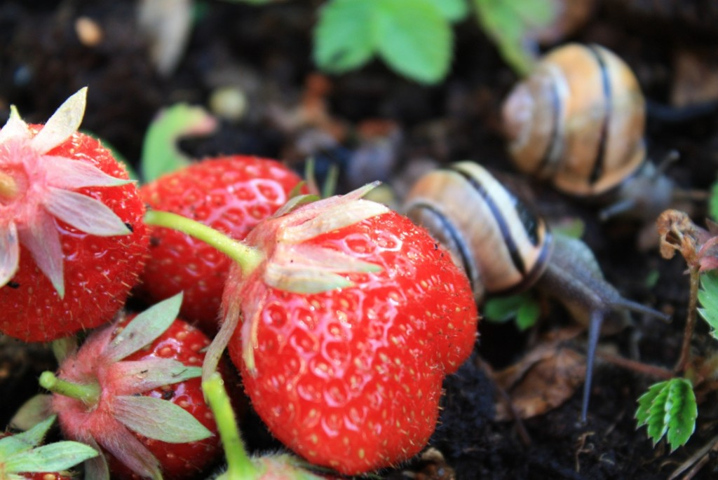 Wer Erdbeeren selber pflücken will, muss schneller sein als die Schnecken! (Foto: A. Kaatz)
